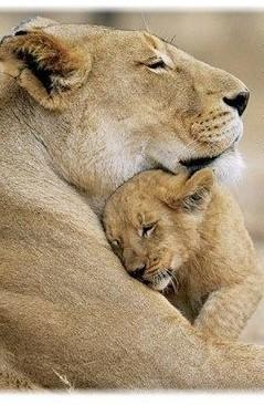 lionsii
